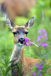 Alaska, Sitka, deer eating fireweed